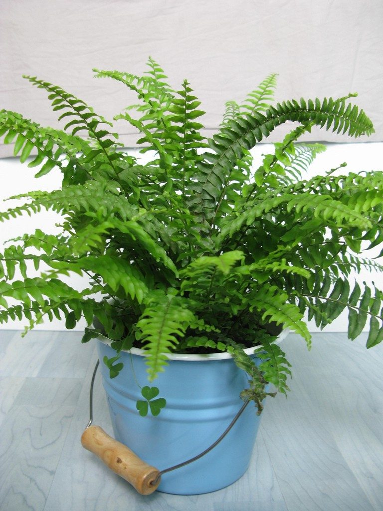 boston-fern-houseplant